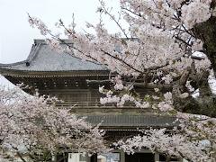 光明寺山門と桜