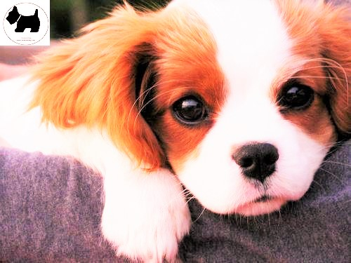 Cutest Dog Breeds, Best Dog, Cavalier Dog puppies