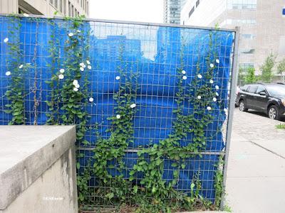 field bindweed flowers, Toronto