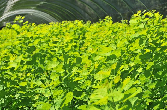Golden Spirit Cotinus green Sun valley