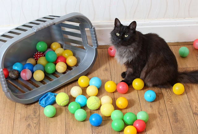 Meet the cat who won't stop stealing colorful play balls
