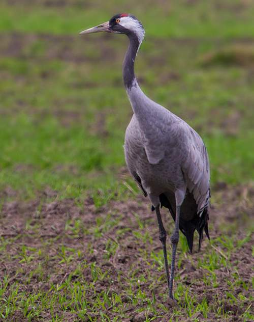 Birds of India - Common crane - Grus grus