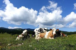 koeien in trentino
