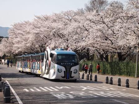 Shansquare Blog: 韓國京畿道首爾大公園櫻花2014(서울 대공원 벚꽃)