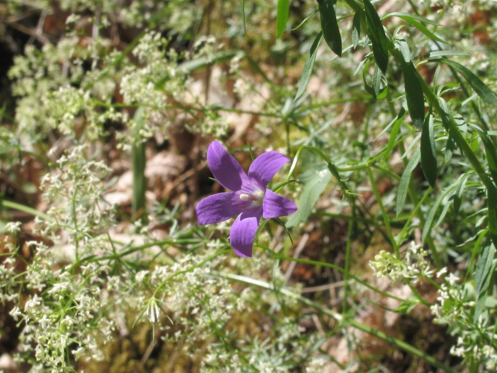 Das plantas e das pessoas campanula matritensis a dc for Anales del jardin botanico