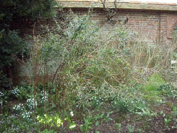 A Year At Great Dixter Pruning Abelia Grandiflora