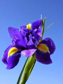Süsen çiçeğinin özellikleri