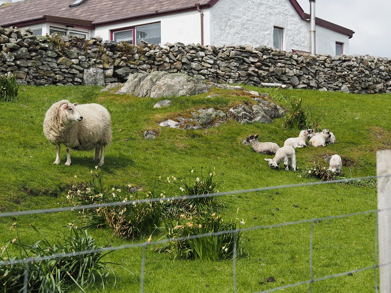 Shetland sheep with lambs on Burra