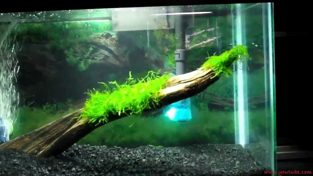 Java Moss - Tanaman - Tanaman Aquascape Untuk Pemula Yang Mudah Sekali Perawatanya