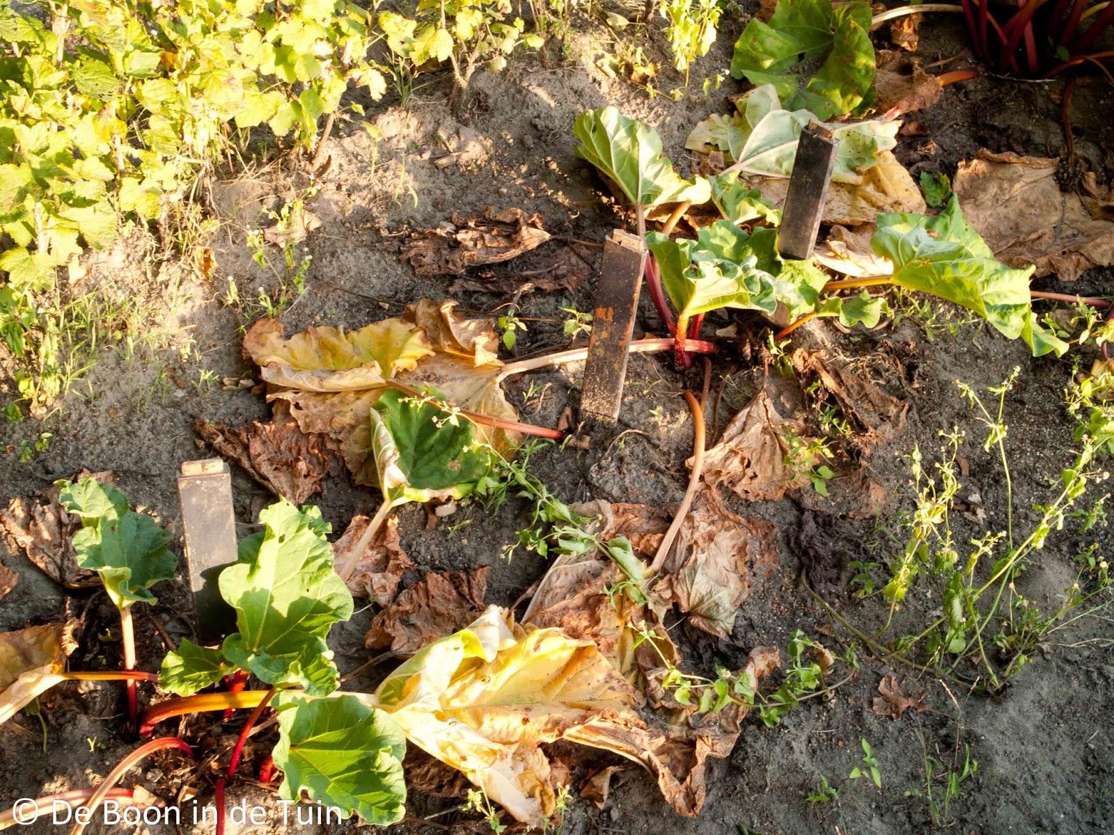 rabarber herfst najaar volkstuin moestuin