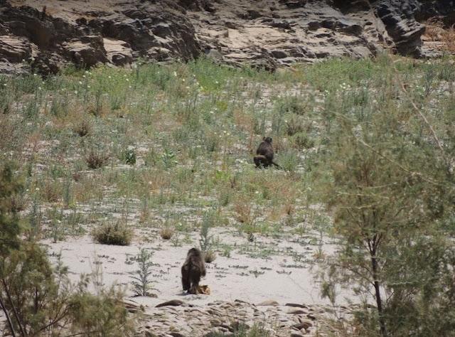 babbuini tra le montagne del Naukluft