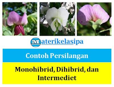 Contoh Persilangan Monohibrid (Segregasi Mendel 1), Dihibrid (Asortasi Mendel 2), dan Intermediet