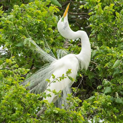 Great Egret, UT Southwestern Medical Center