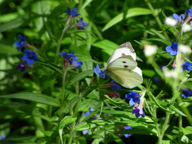 Flori Albastre Salbatice Padure Macin meisor albastru (Lithospermum purpureo-coeruleum) fluture