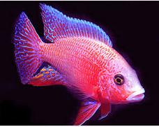 10 Ikan Hias Air Tawar Terindah jenis Cichilid