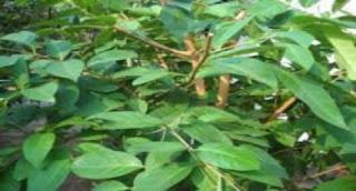 Manfaat dan khasiat daun salam bagi kesehatan