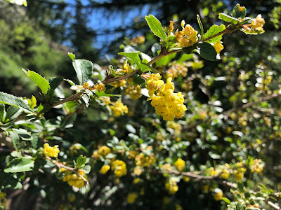 [Berberidaceae] Berbis vulgaris – Common Barberry (Crespino comune).
