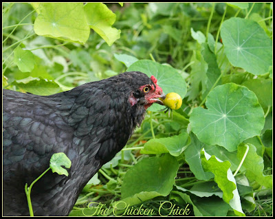 Olive Egger hen, picking her own cherry tomatoes