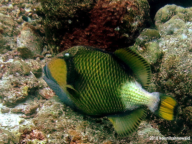 Titan triggerfish, konnihahnewald, uw photography, sabang, pulau weh, andaman sea, indonesia, sumatra, iboih beach