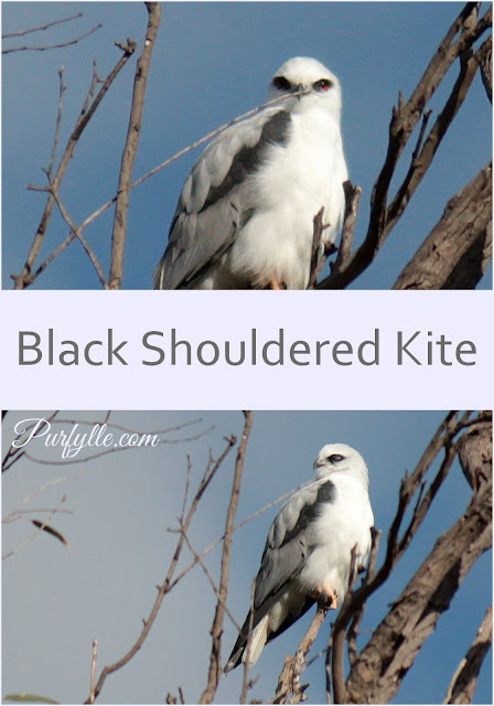 Australian Black Shouldered Kite