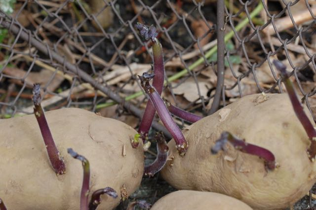 to long potato sprouts