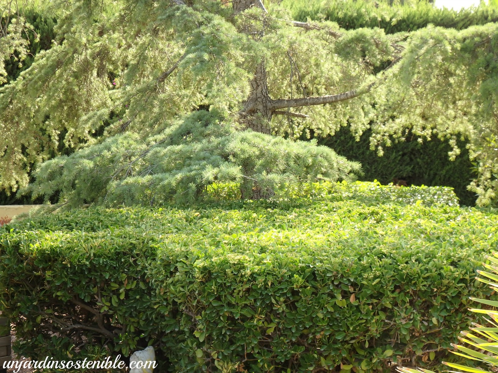 Euonymus japonicus ev nimo - Setos de jardin ...