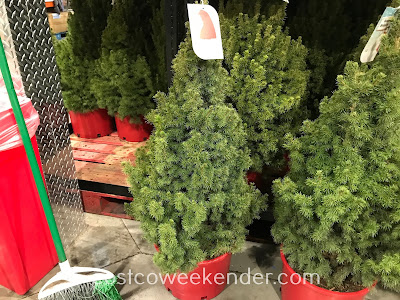 Improve your home's landscaping with a Dwarf Alberta Spruce Tree
