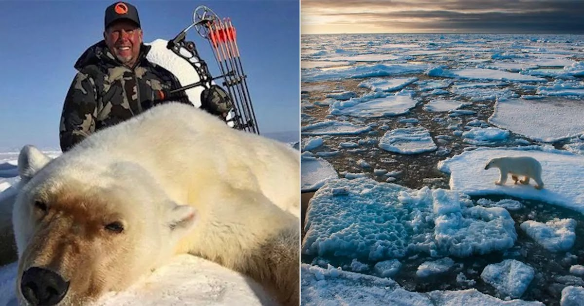 Expert Warns Polar Bears Could Be Headed For Extinction Due To The Double Threat Of Trophy Hunting And Global-Warming