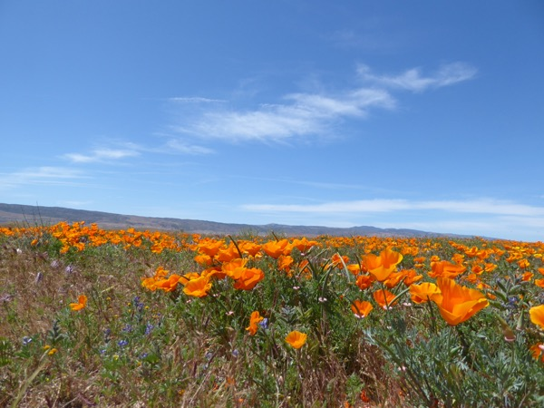 California wildflower poppy bloom Antelope Valley