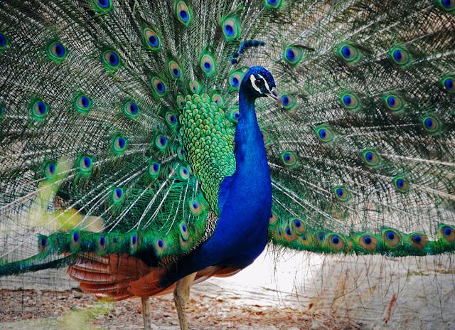 Peacock - Parque Reina Sofia - Guardamar del Segura, Costa Blanca