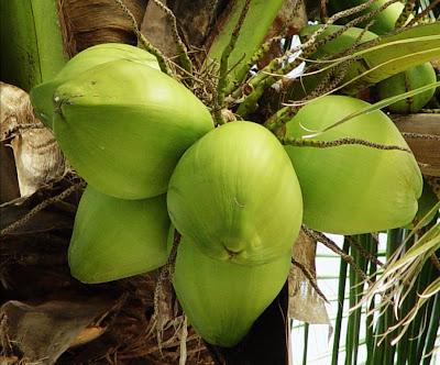 Resultado de imagem para coco brasileiro