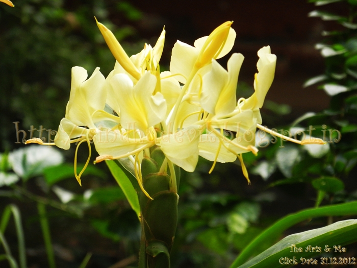 Yellow ginger lily