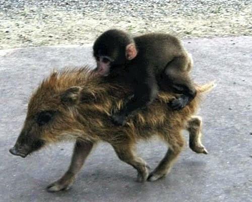 Affe Und Schwein