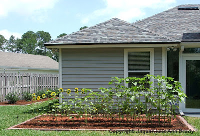 Sunflower Plants Prospering in the Ground May 12, 2013