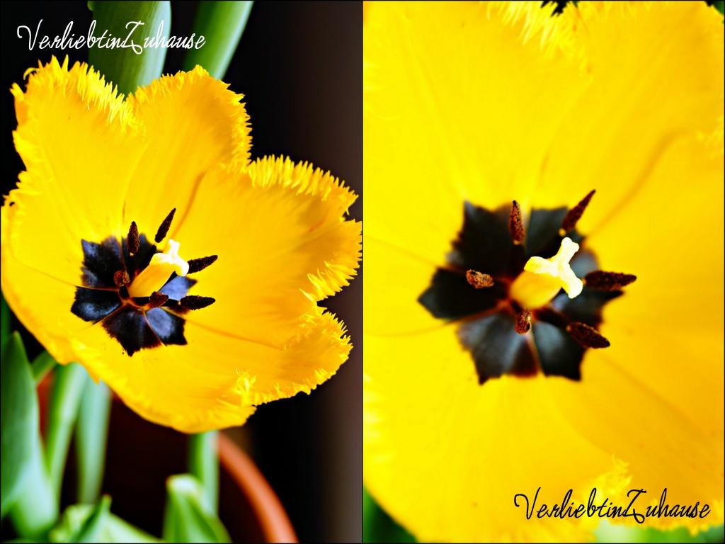 Fotoshoot Aufnahme als Makro gelbe Tulpe