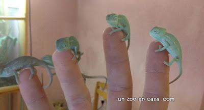 Crías de camaleón del Yemen (Chamaeleo calyptratus)