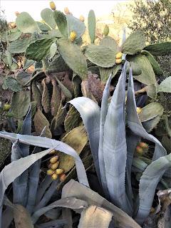 Figa kaktusowa