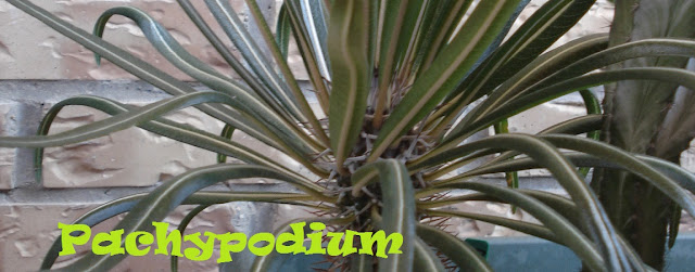 http://plantukis.blogspot.com.es/2016/11/pachypodium-genero-informacion-y-video.html
