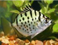 Jenis Ikan Hias Air Tawar Silyer Scat