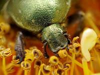 zielony chrząszcz