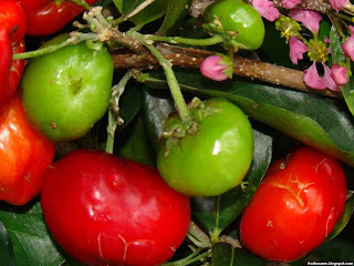 Barbados cherry fruit images wallpaper