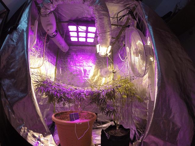 צמח סאטיבה טהור בחלל מטר עשרים תחת מנורת גידול לד באדמאסטר god-9 יום לפני כניסה לפריחה