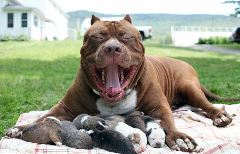 Το μεγαλύτερο pit bull στον κόσμο, έγινε μπαμπάς! Τα κουτάβια του κοστίζουν πάνω από 500.000 δολάρια! (βίντεο)