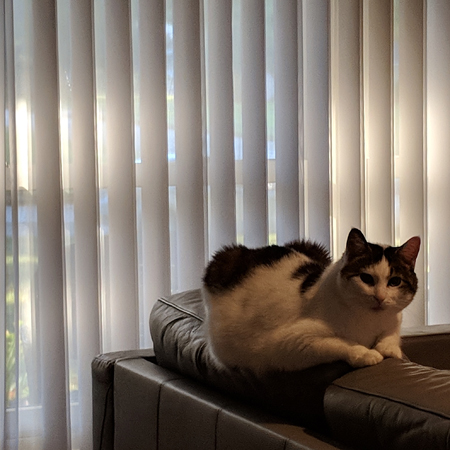 image of Olivia the White Farm Cat, sitting on the back of the couch as sunlight peeks through the blinds behind her