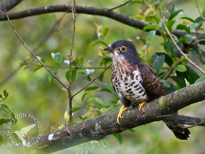 Cuco grande: Dark hawk cuckoo Hierococcyx sparveroides