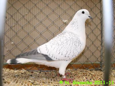 color pigeons