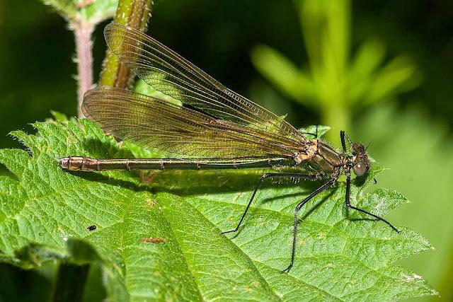 Female Banded Demoiselle (Calopteryx splendens) Willen Lake 2013