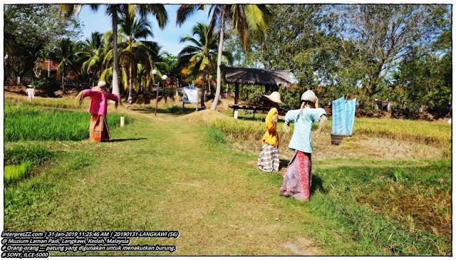 gambar orang-orang di sawah padi