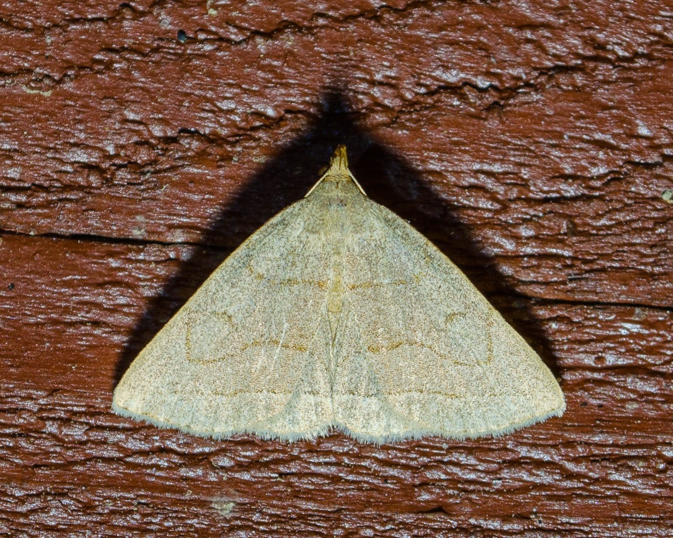 Grayish Fan-Foot, Zanclognatha pedipilalis