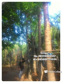 Kami tukang Taman minimalis menjual pohon bungur bunga ungu bergaransi  | tanaman pelindung | pohon peneduh